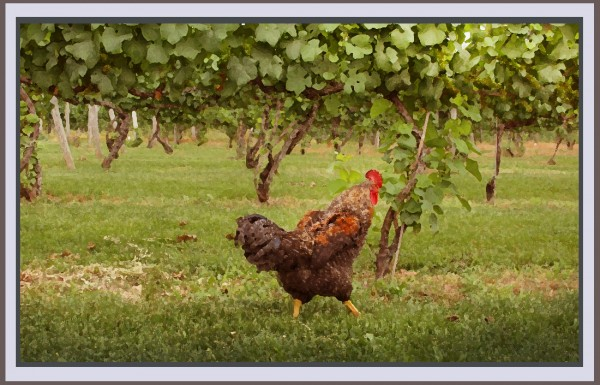 Rooster struts through a Virginia vineyard.